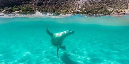 Seal in Eyre Peninsula